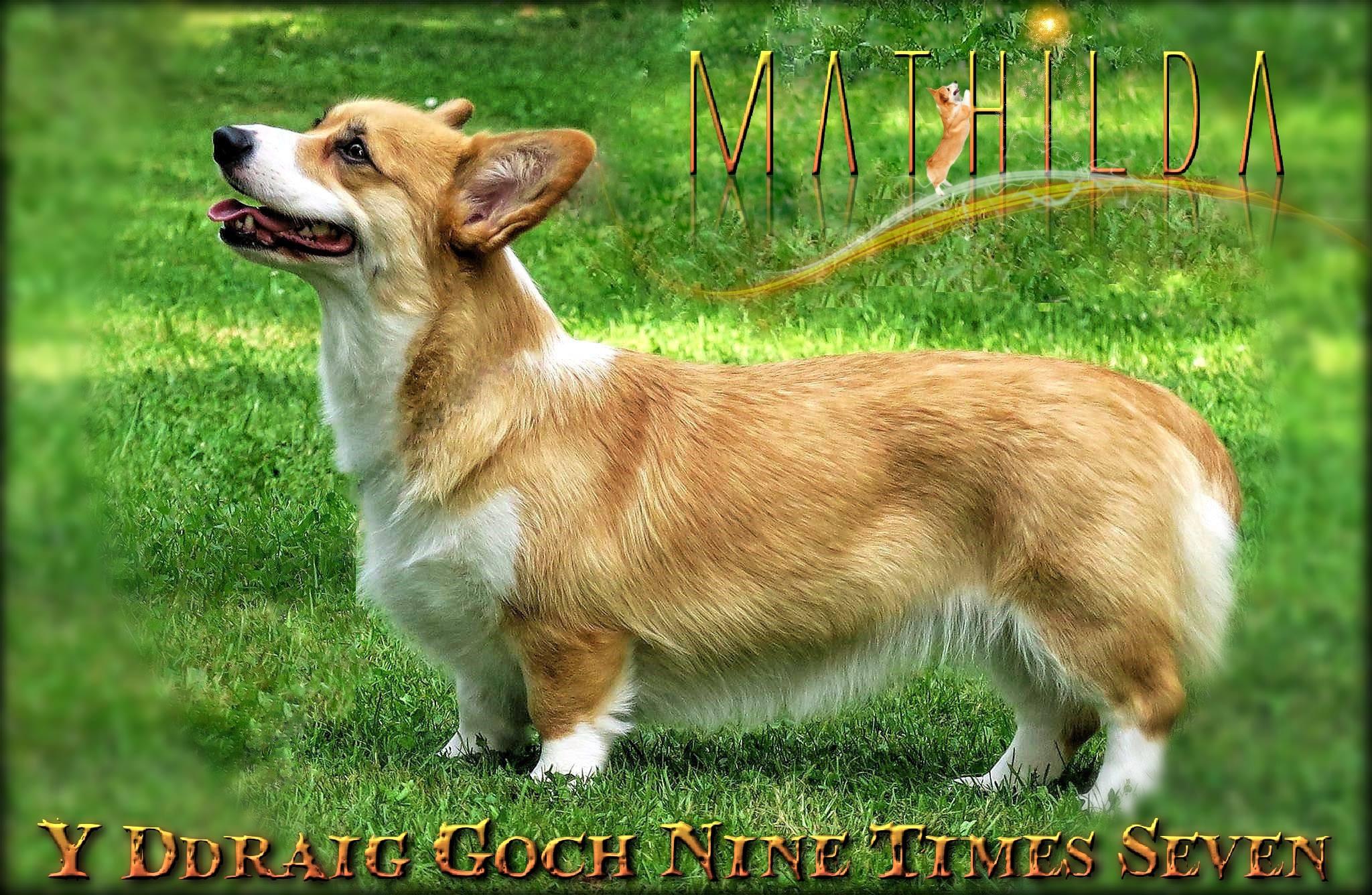 Odenwald Corgis Meine Hunde
